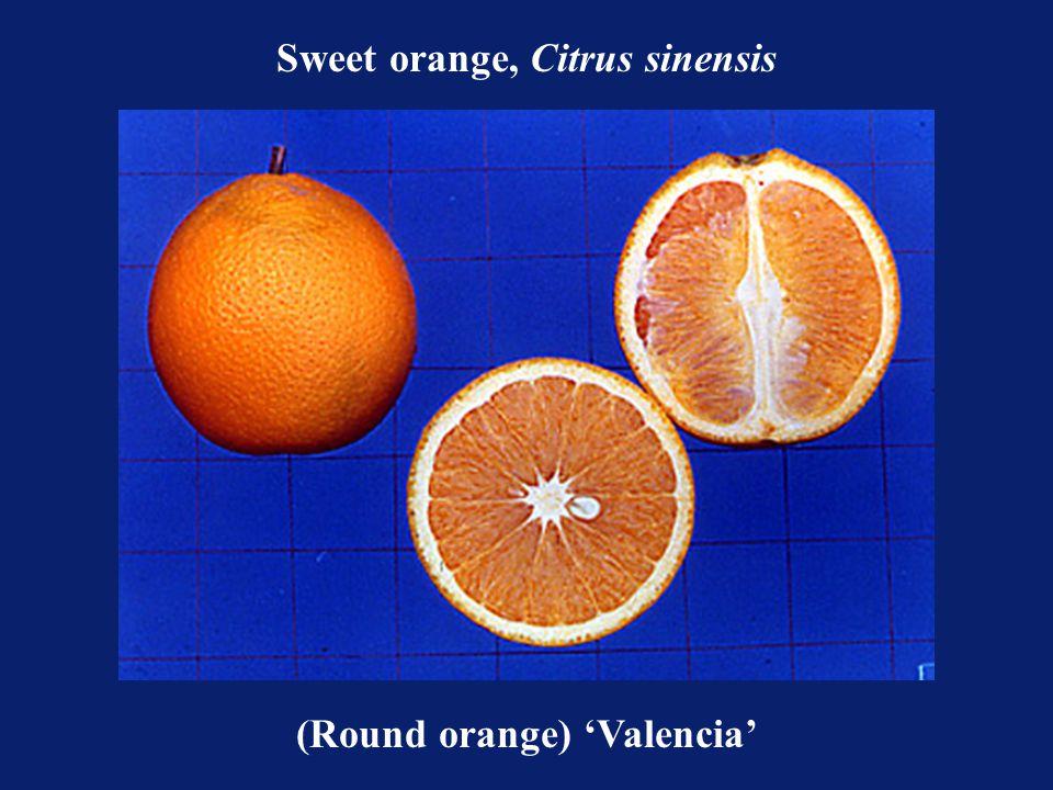 Sweet orange, Citrus sinensis (Round orange) 'Valencia'