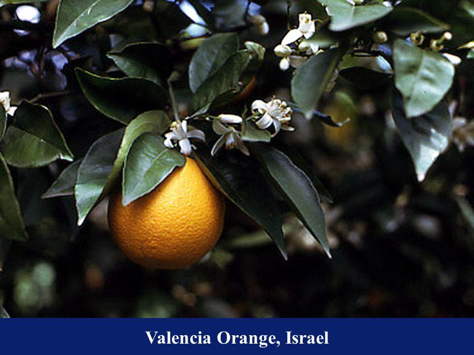 Valencia Orange, Israel