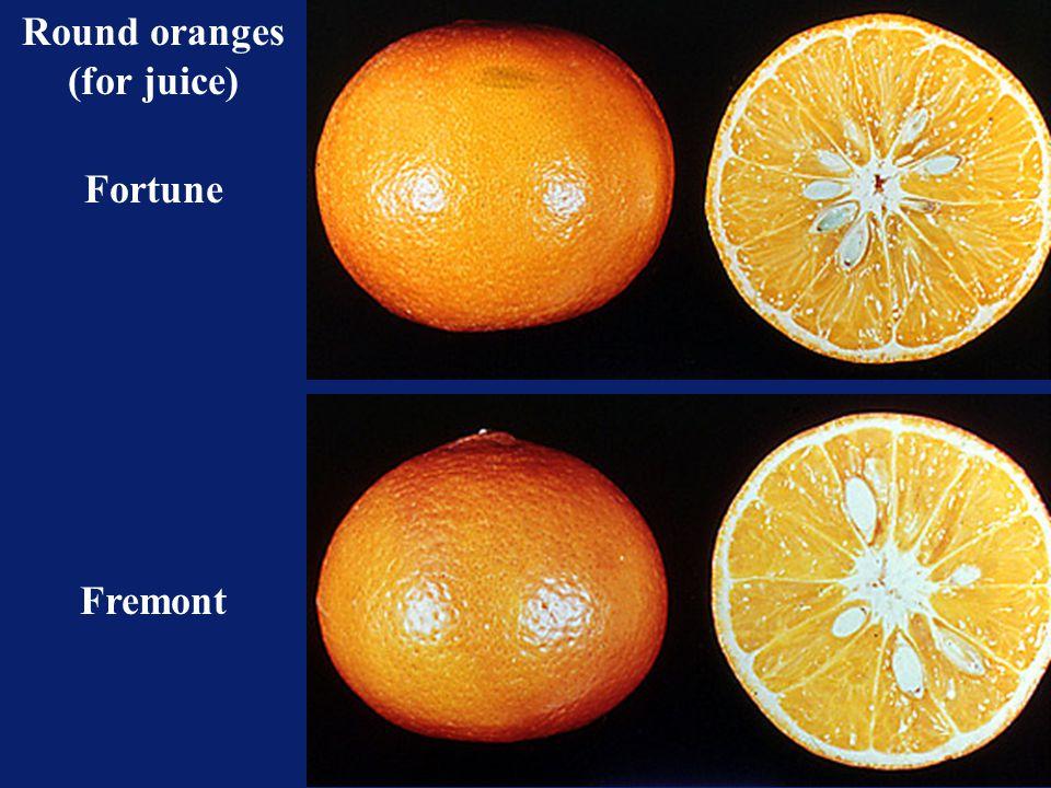 Round oranges (for juice)