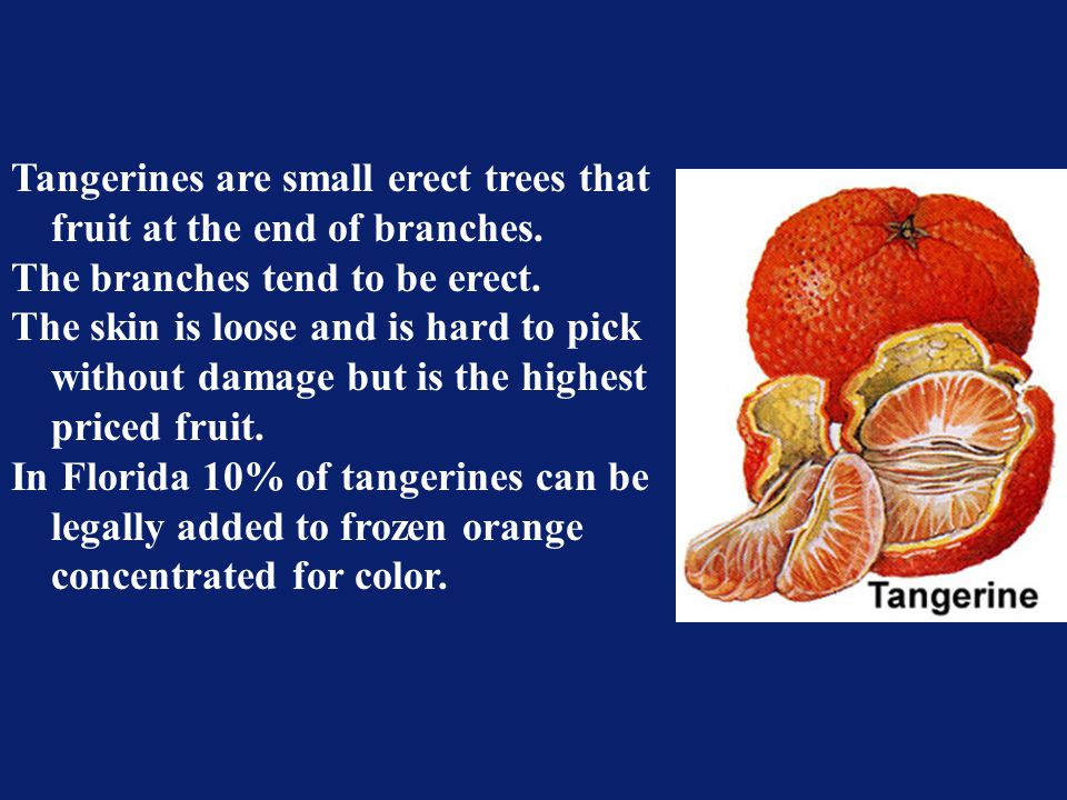 Tangerines are small erect trees that. fruit at the end of branches