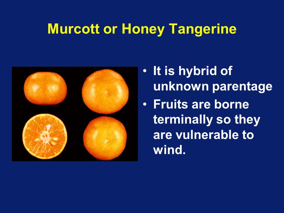 Murcott or Honey Tangerine