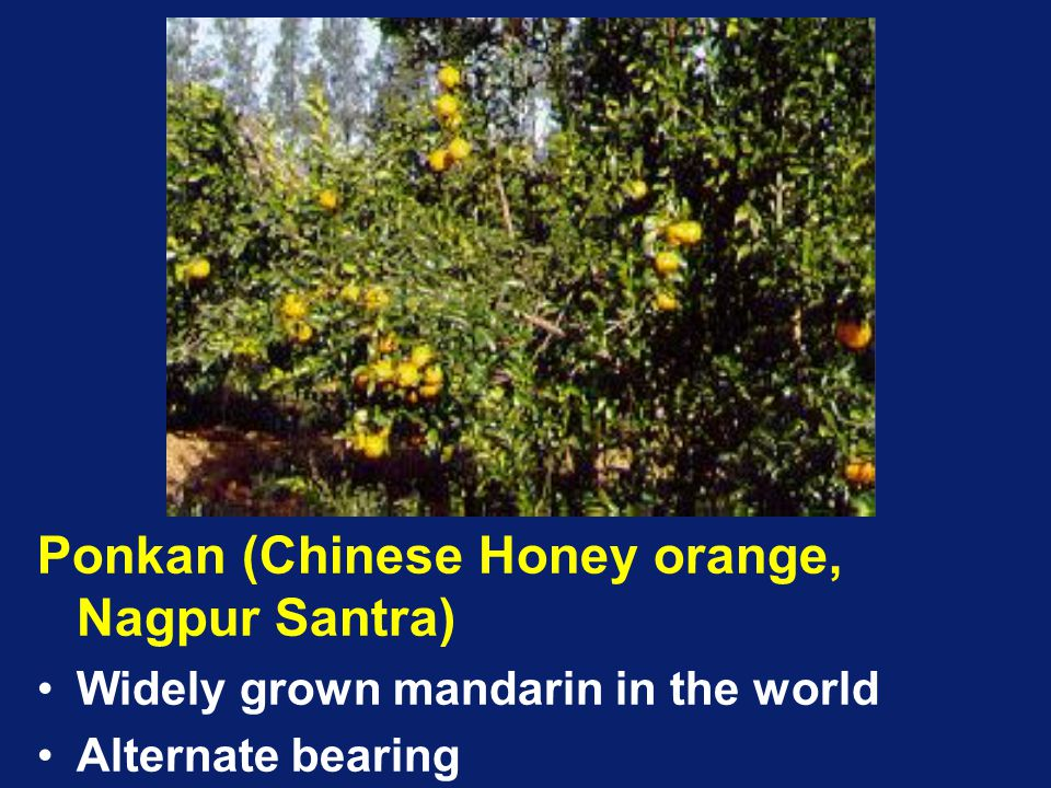 Ponkan (Chinese Honey orange, Nagpur Santra)