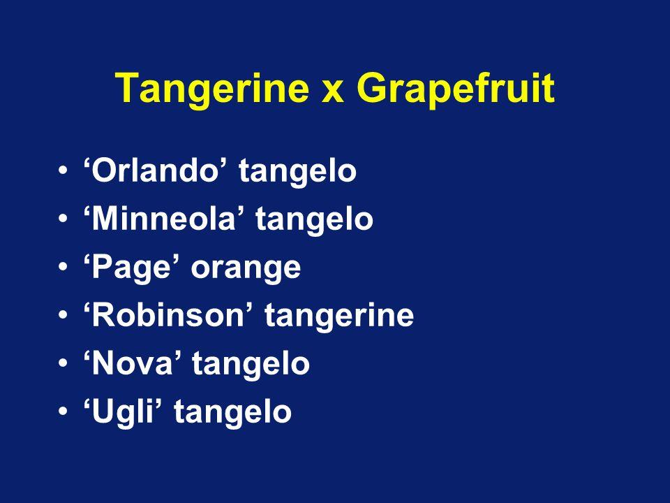 Tangerine x Grapefruit