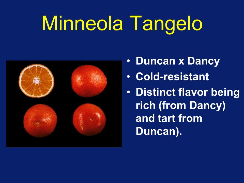 Minneola Tangelo Duncan x Dancy Cold-resistant
