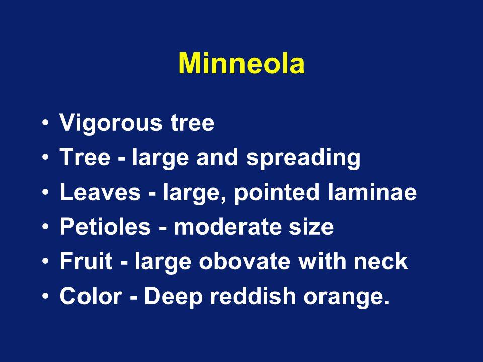 Minneola Vigorous tree Tree - large and spreading