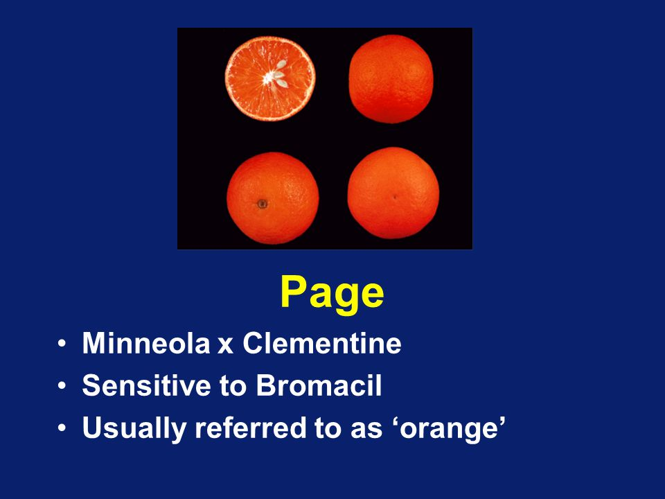 Page Minneola x Clementine Sensitive to Bromacil