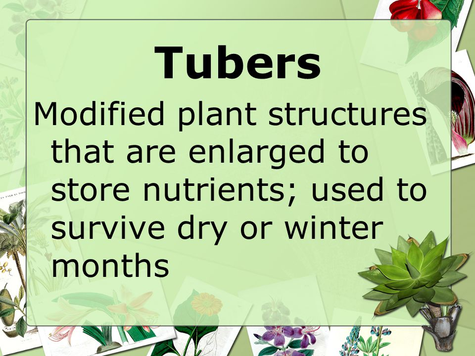 Tubers Modified plant structures that are enlarged to store nutrients; used to survive dry or winter months.