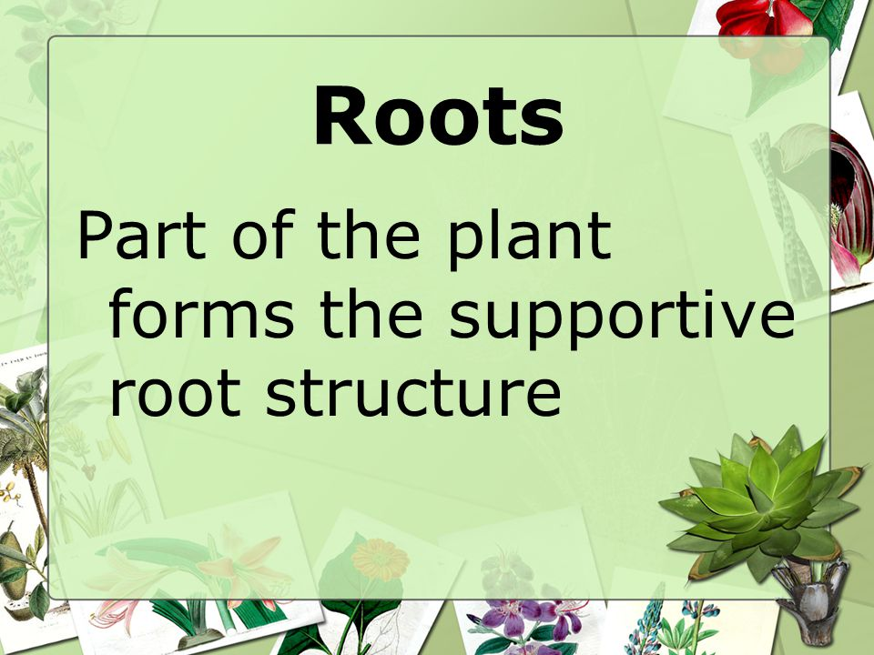 Roots Part of the plant forms the supportive root structure
