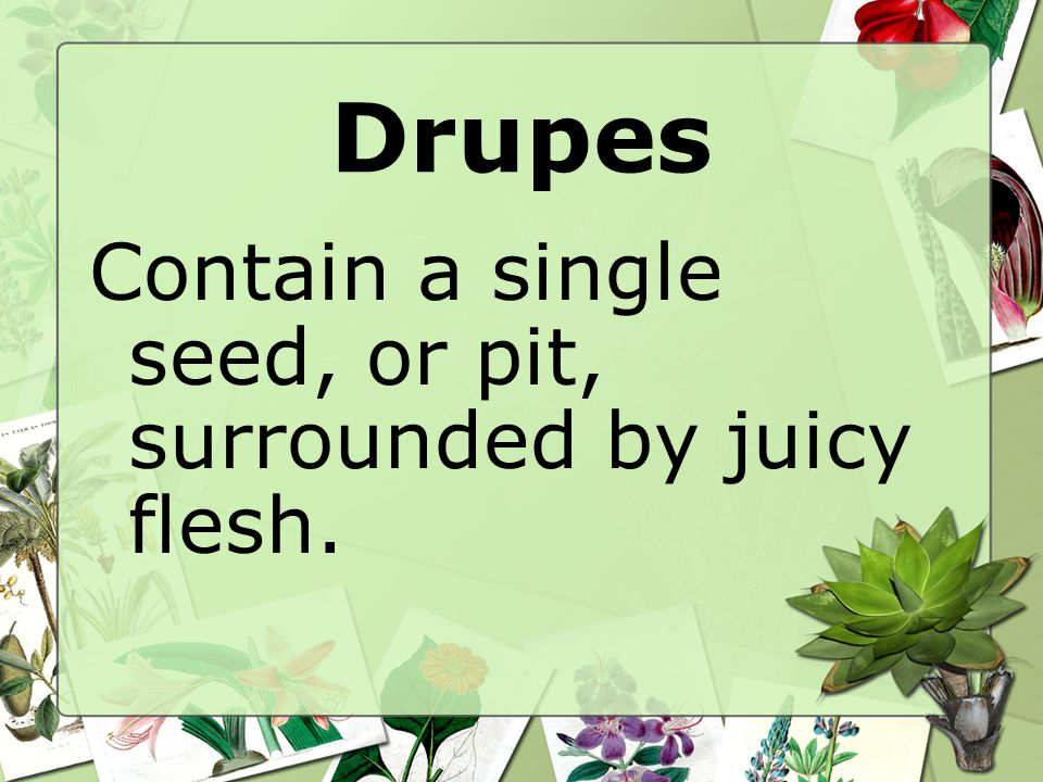 Drupes Contain a single seed, or pit, surrounded by juicy flesh.