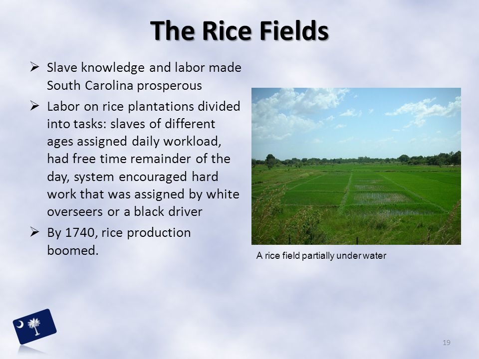 The Rice Fields Slave knowledge and labor made South Carolina prosperous.