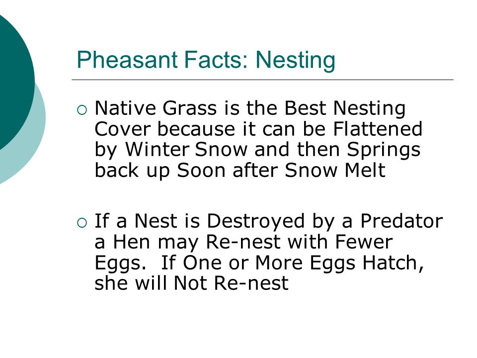 Pheasant Facts: Nesting