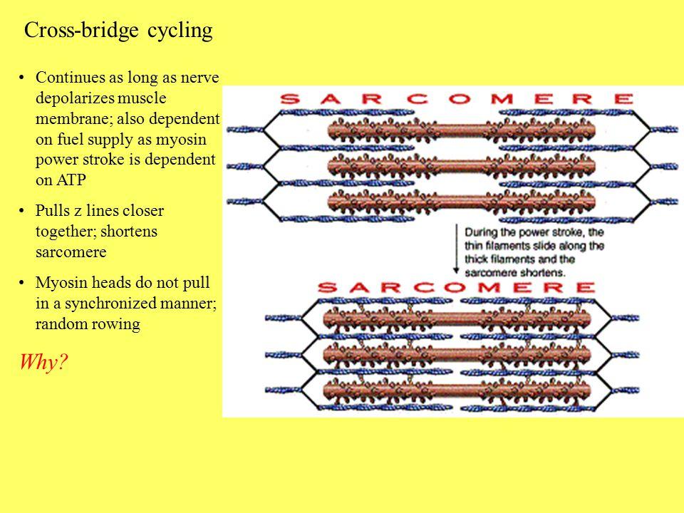 Cross-bridge cycling Why