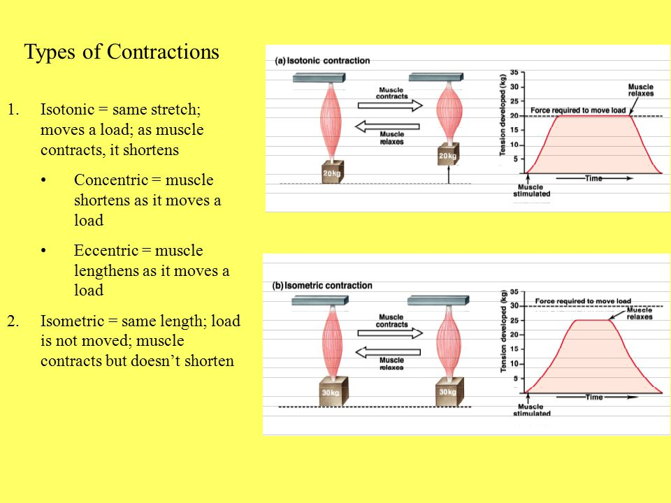 Types of Contractions Isotonic = same stretch; moves a load; as muscle contracts, it shortens. Concentric = muscle shortens as it moves a load.
