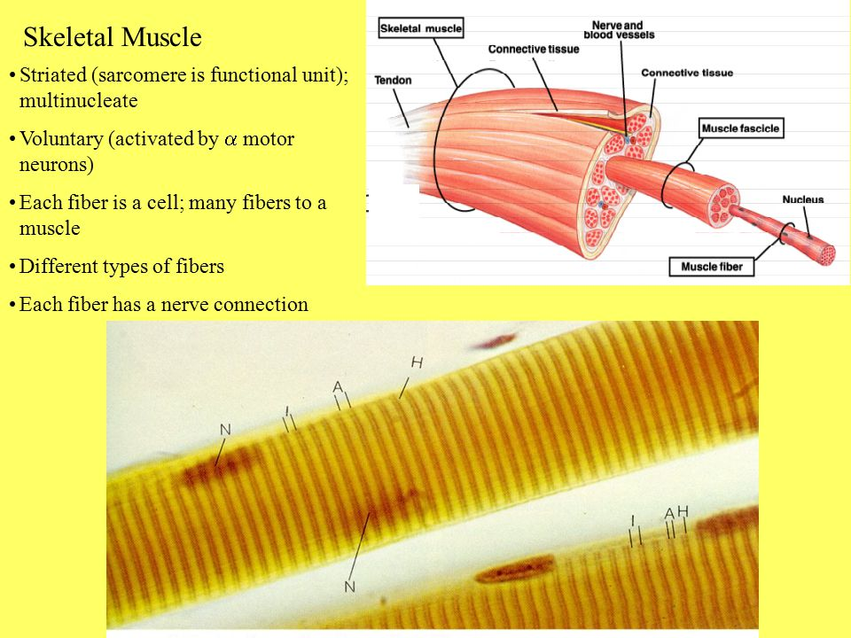 Skeletal Muscle Striated (sarcomere is functional unit); multinucleate
