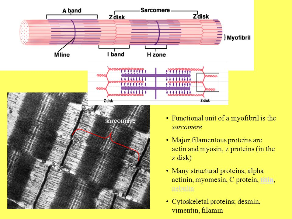 Functional unit of a myofibril is the sarcomere