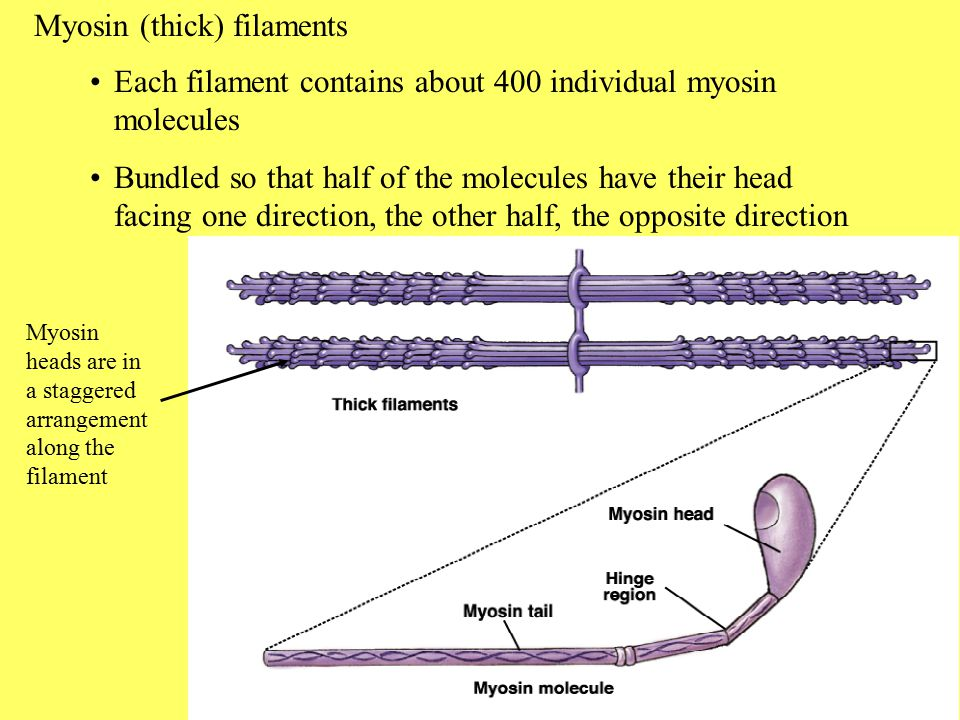 Myosin (thick) filaments