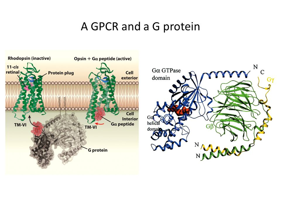 A GPCR and a G protein