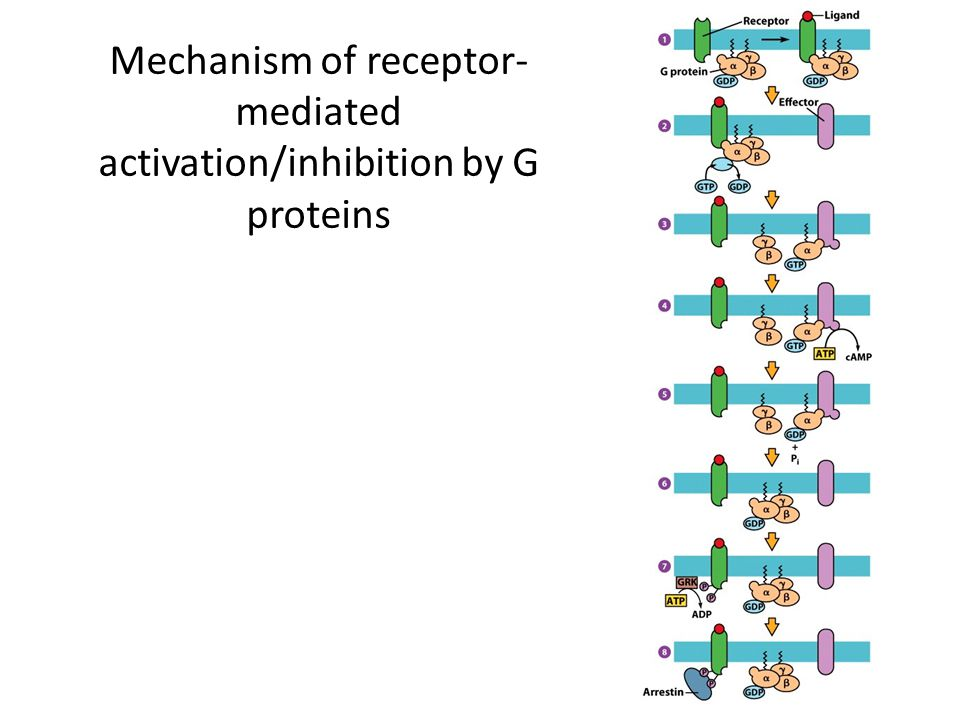 Mechanism of receptor-mediated activation/inhibition by G proteins