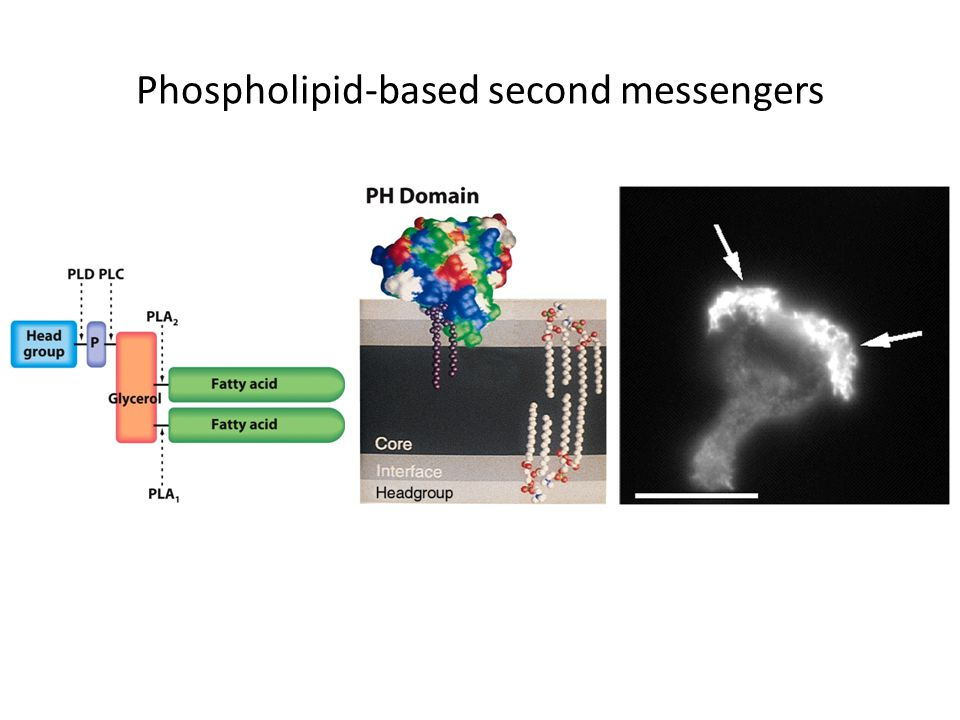 Phospholipid-based second messengers