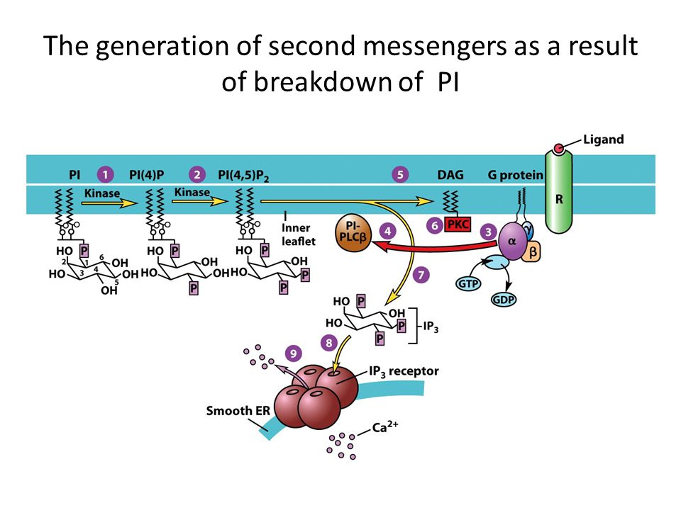 The generation of second messengers as a result of breakdown of PI