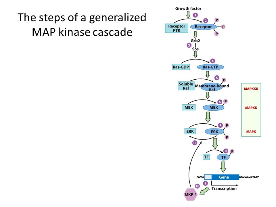 The steps of a generalized MAP kinase cascade