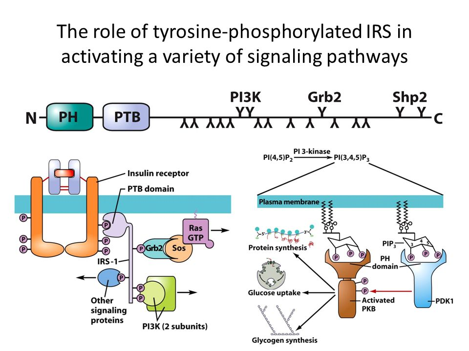 The role of tyrosine-phosphorylated IRS in activating a variety of signaling pathways