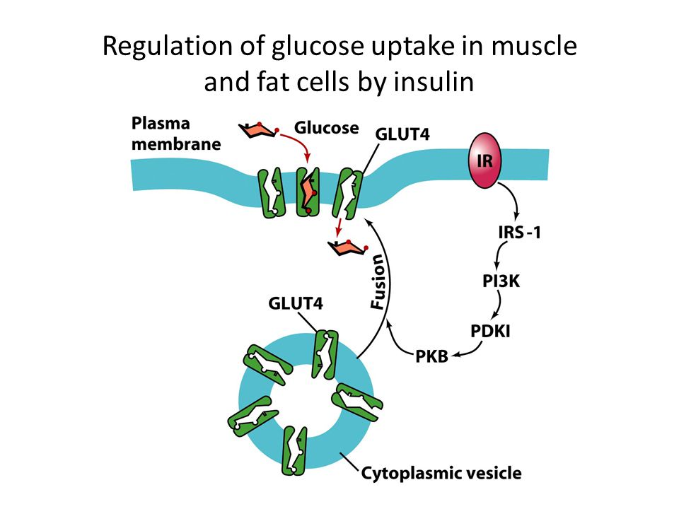 Regulation of glucose uptake in muscle and fat cells by insulin