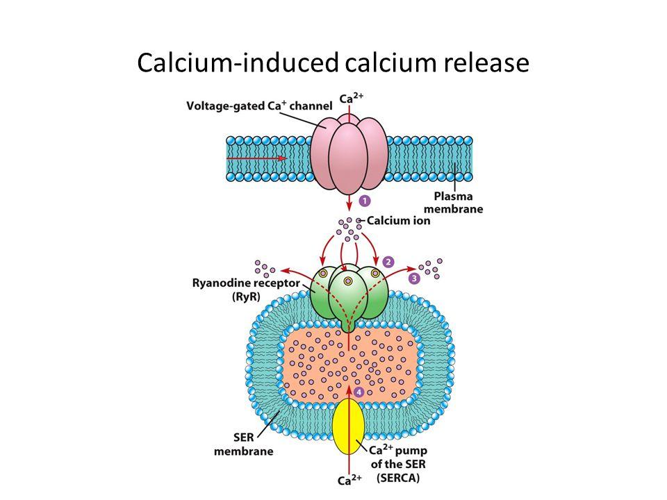 Calcium-induced calcium release