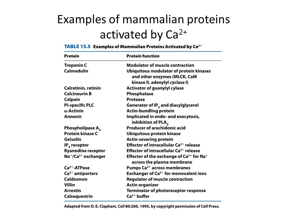 Examples of mammalian proteins activated by Ca2+