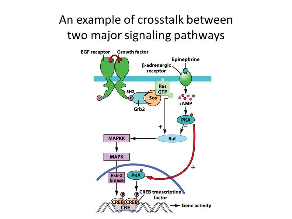 An example of crosstalk between two major signaling pathways
