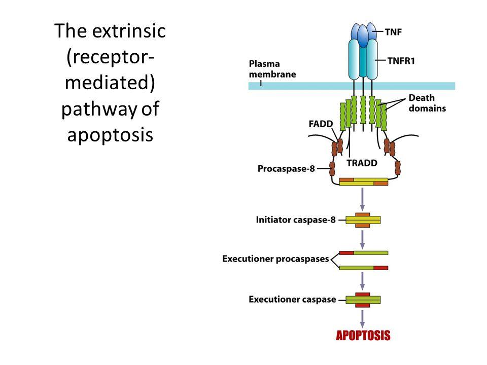 The extrinsic (receptor-mediated) pathway of apoptosis