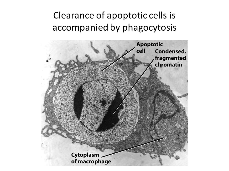 Clearance of apoptotic cells is accompanied by phagocytosis