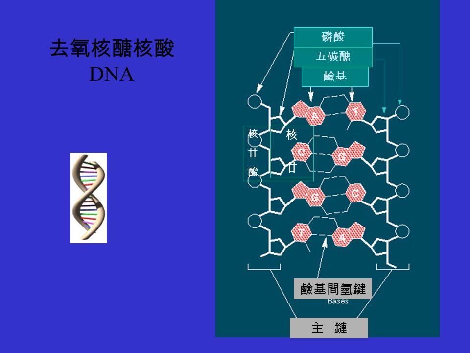 磷酸 去氧核醣核酸 DNA 五碳醣 鹼基 核 甘 酸 核 甘 鹼基間氫鍵 主 鏈