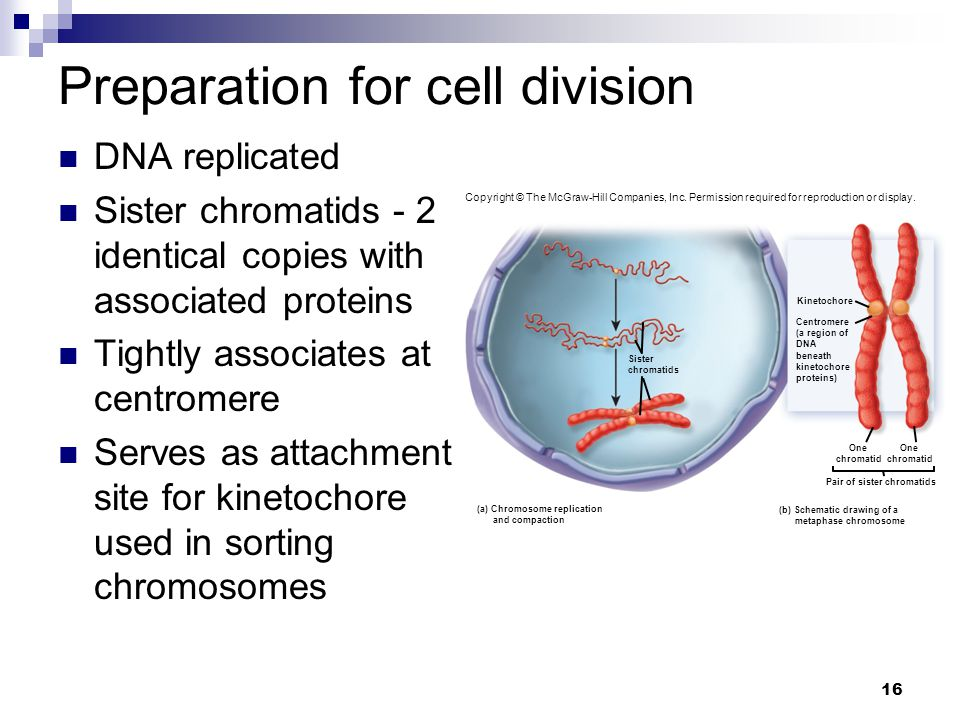 Preparation for cell division