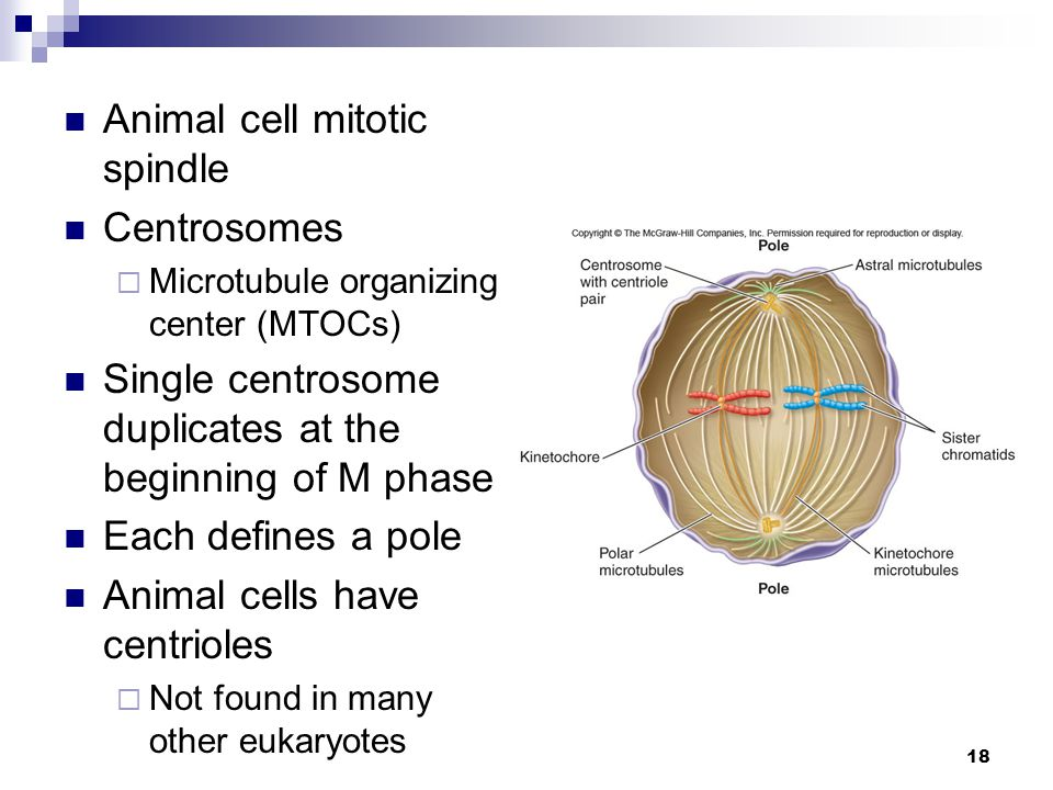 Animal cell mitotic spindle Centrosomes
