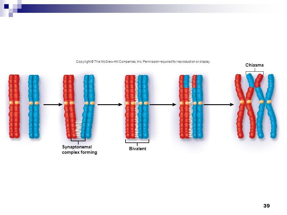 39 Chiasma Synaptonemal complex forming Bivalent