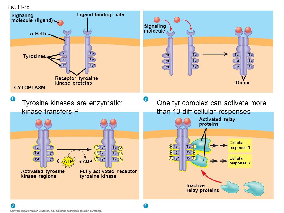 Tyrosine kinases are enzymatic: kinase transfers P