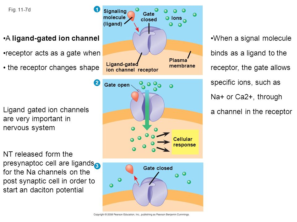 A ligand-gated ion channel receptor acts as a gate when