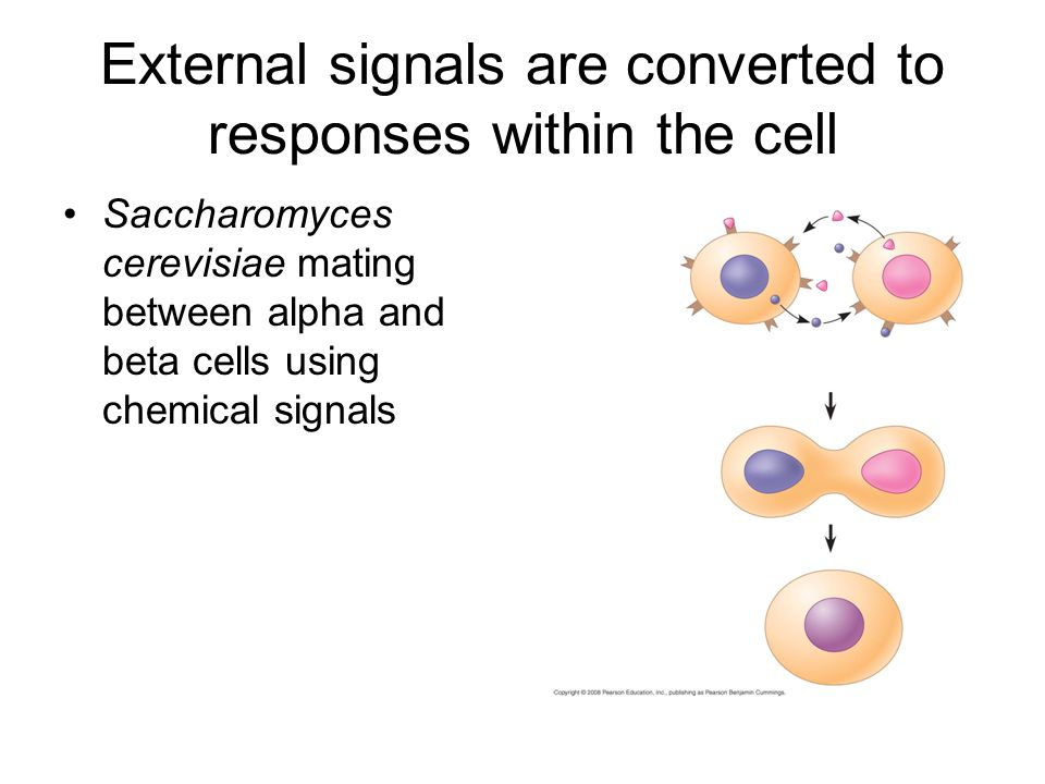 External signals are converted to responses within the cell