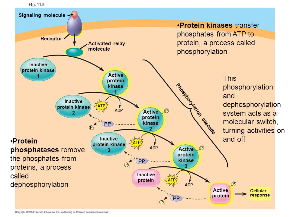 Phosphorylation cascade