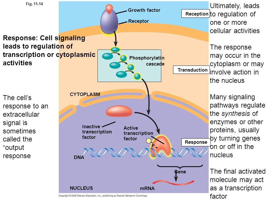Ultimately, leads to regulation of one or more cellular activities