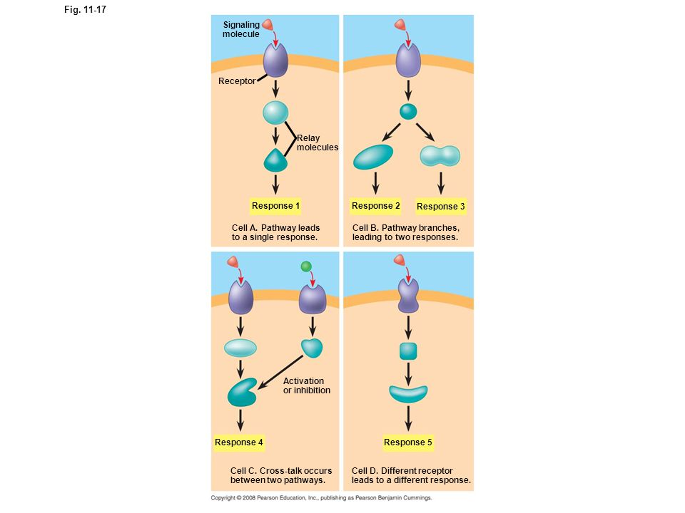 Figure 11.17 The specificity of cell signaling