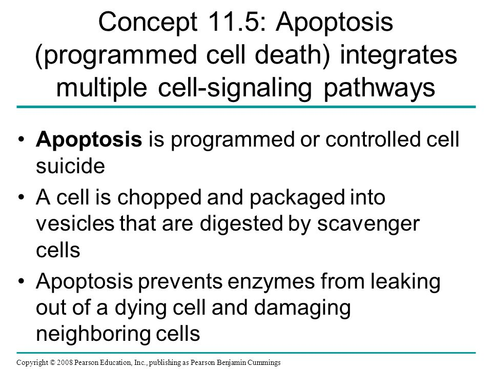 Concept 11.5: Apoptosis (programmed cell death) integrates multiple cell-signaling pathways