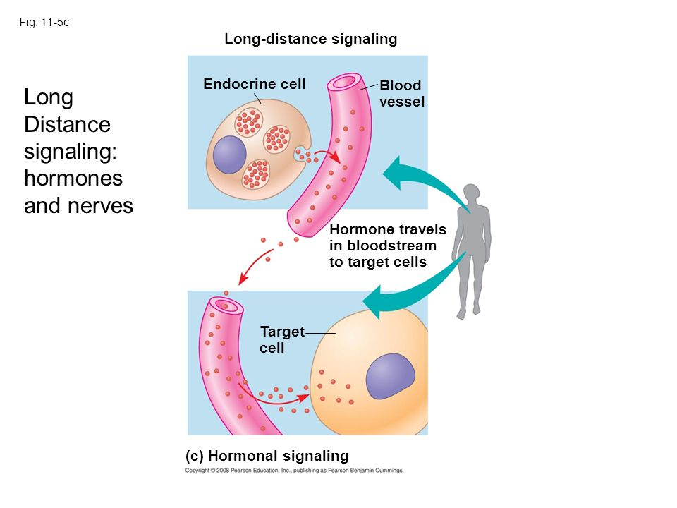 Long Distance signaling: hormones and nerves