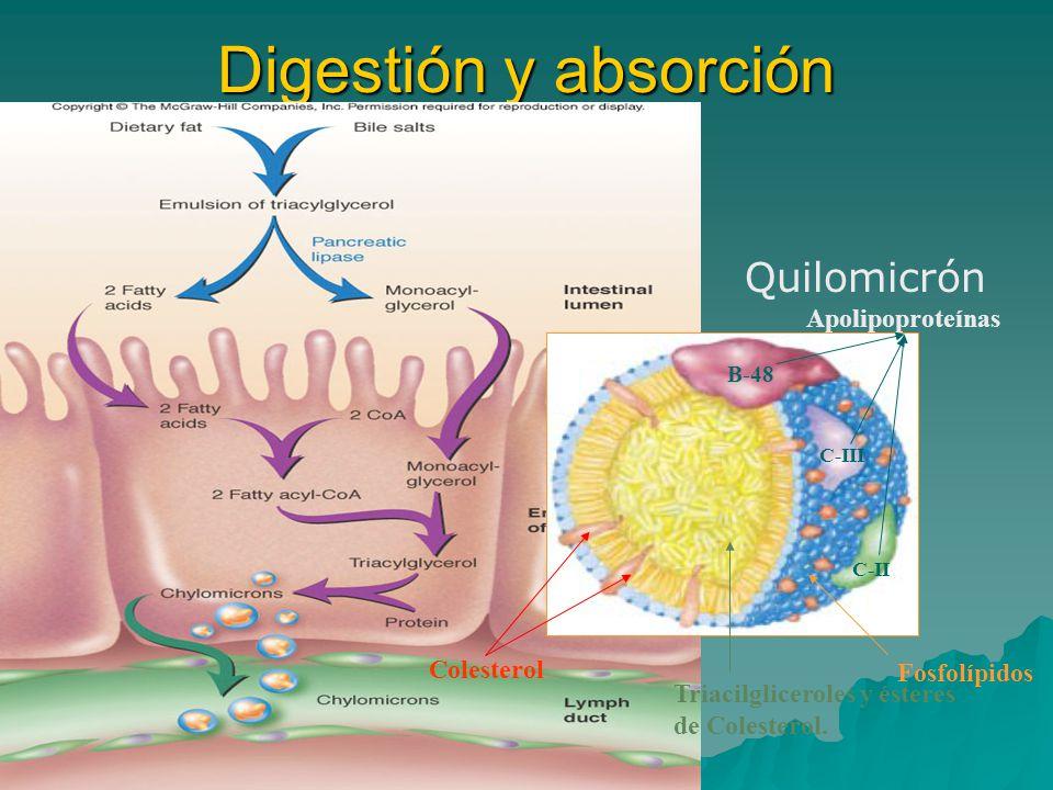 Digestión y absorción Quilomicrón Apolipoproteínas Colesterol