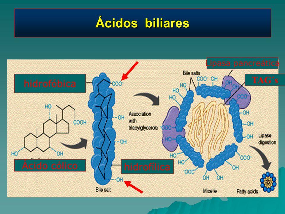 Ácidos biliares TAG´s hidrofóbica Ácido cólico hidrofílica