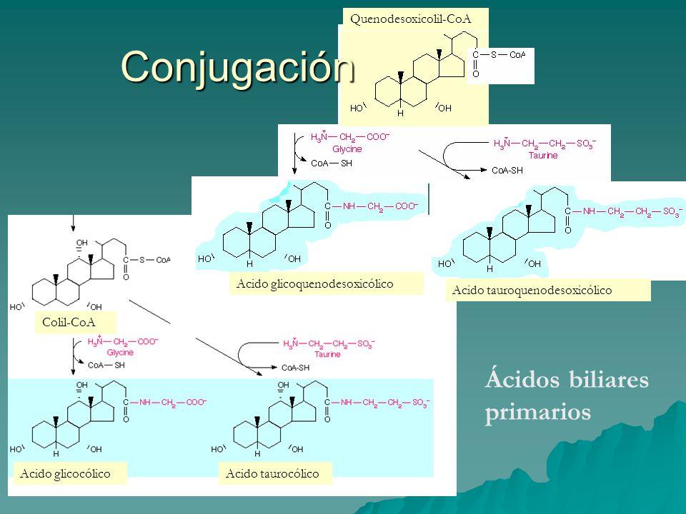 Conjugación Ácidos biliares primarios Quenodesoxicolil-CoA