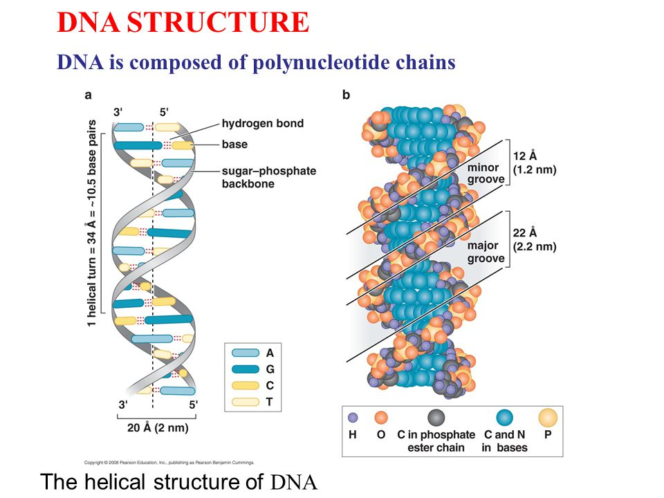 Dna structure dna is composed of polynucleotide chains ppt video dna structure dna is composed of polynucleotide chains ccuart Images