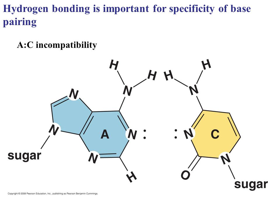 Hydrogen bonding is important for specificity of base pairing