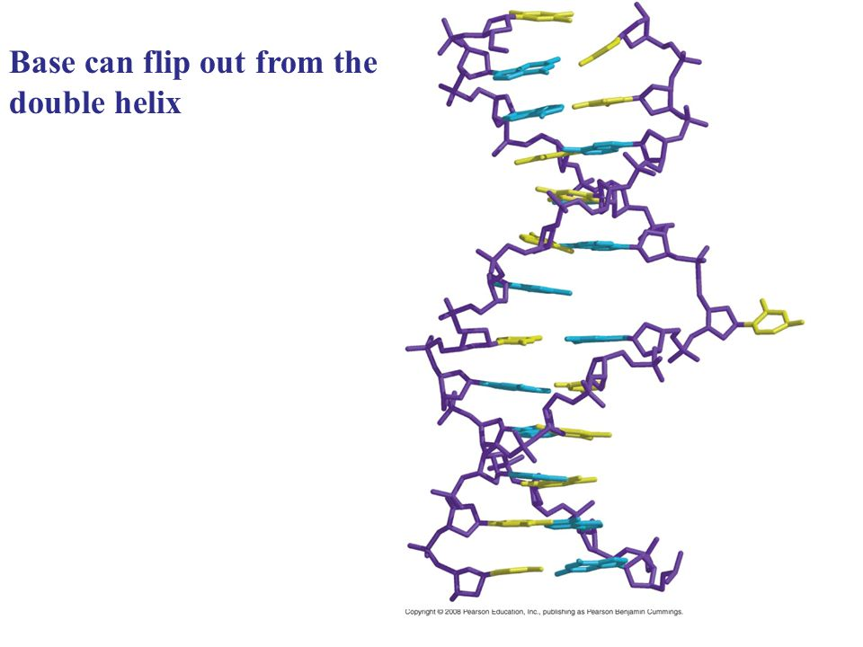 Base can flip out from the double helix